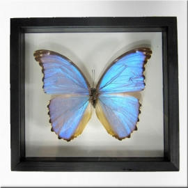 Morpho blue butterfly with frame