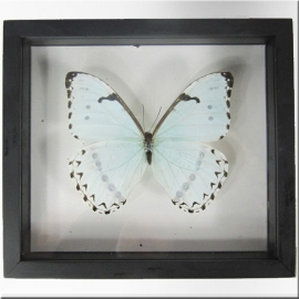 Morpho white butterfly with frame