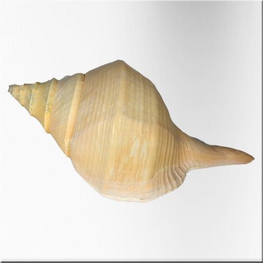 Coquillage trompette australienne -Syrinx