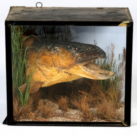 Head of pike naturalized in diorama