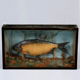 Fish naturalized in diorama