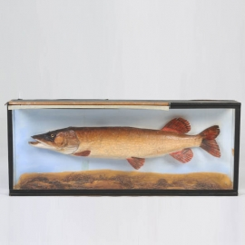 Pike naturalized in diorama