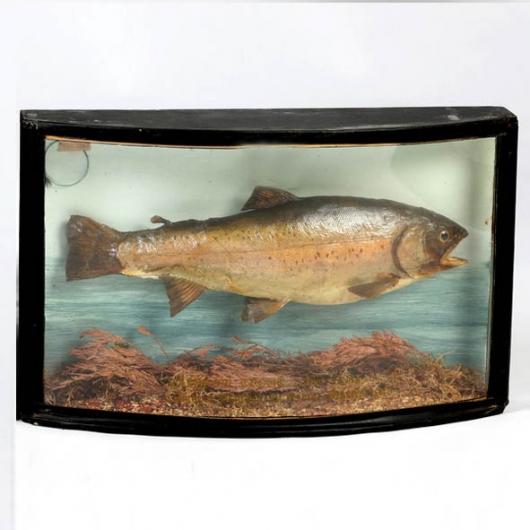 Tanche naturalisé en diorama