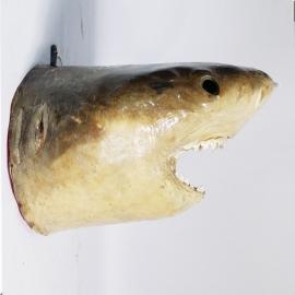 Tête de requin tigre