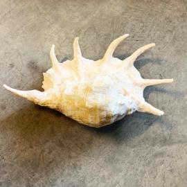 Coquillage Lambis Truncata