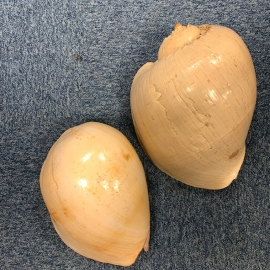 Coquillage Mélo Amphora