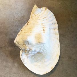 Coquillage Strombus Goliath