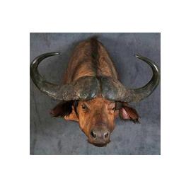 Tête de buffle africain en cape
