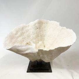 Corail Turbinata Renifornia